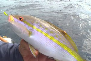 Chumming for Yellowtail Snapper at Night